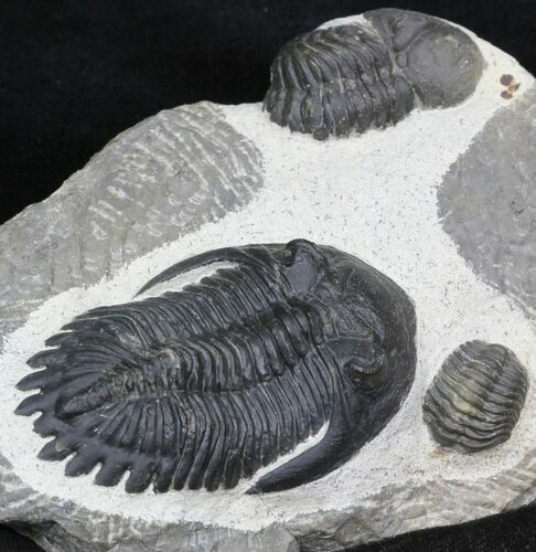 "2.6"" Hollardops Trilobite With Barrandeops"